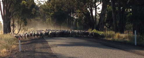 Sheep-on-Road